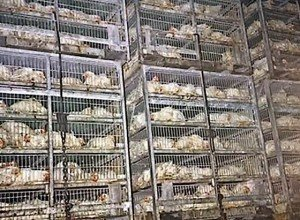 Buddha Weekly 1millions of chickens suffer die for fast food franchises each month dalai lama asks the slaughter stop
