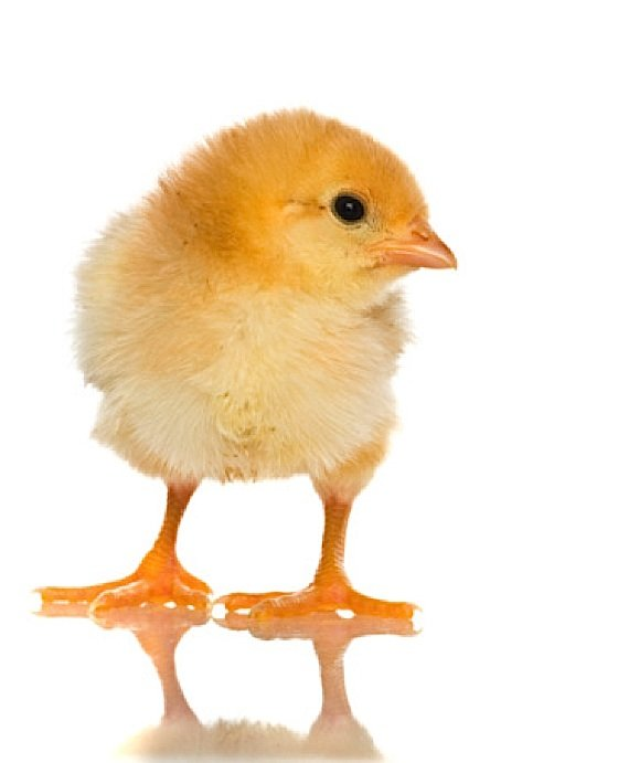 Buddha Weekly billions of chickens die annuallly to feed humans