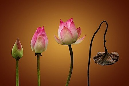 Buddha Weekly 3Lotus life and death dreamstime l 31168225