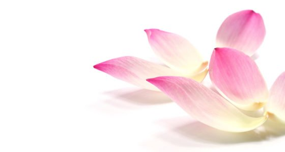 lotus petals 2