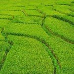 Buddha Weekly Rice fields China grow 15 percent greater yield with mantras Buddhism