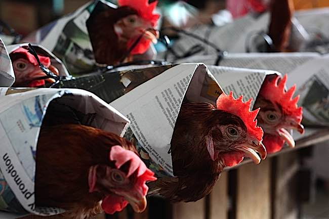 The Dalai Lama wrote a letter on behalf of PETA protesting cruelty to chickens.