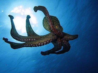 Buddha Weekly Octopus is sentient conscious and feel emotions say Cambridge Scientists Buddhism