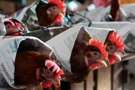 Cruelty to chickens protested by Dalai Lama