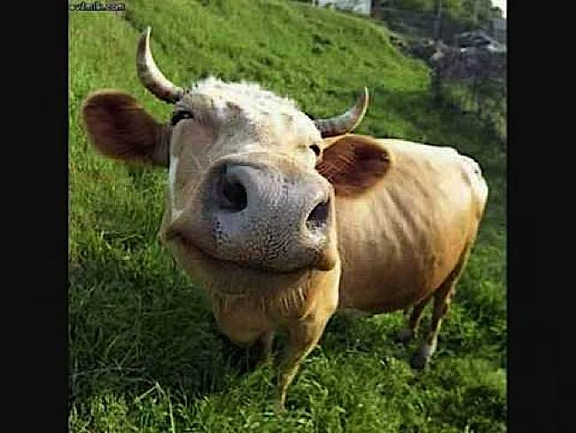 Cows feel emotions, according to the majority of scientists. A glance at this happy cow reinforces this fact.