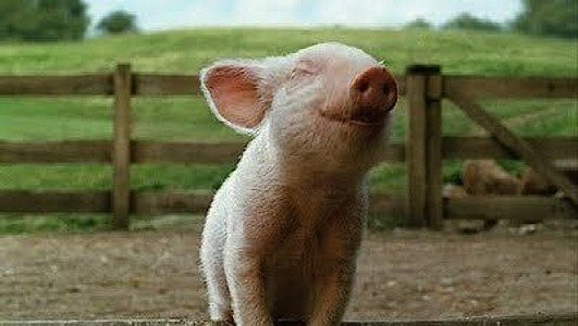 According to most scientists, animals are sentient and feel emotions. Contrast this happy pig to the unhappy pigs on a factory farm below.