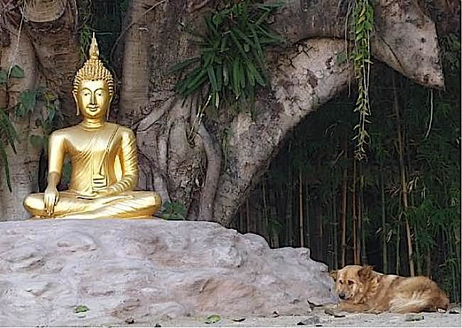 Dogs in Thailand can find sanctuary in any Buddhist Temple. Nearly every temple has resident stray dogs, fed and cared for by monks despite the fact the monks have to beg for their own food.