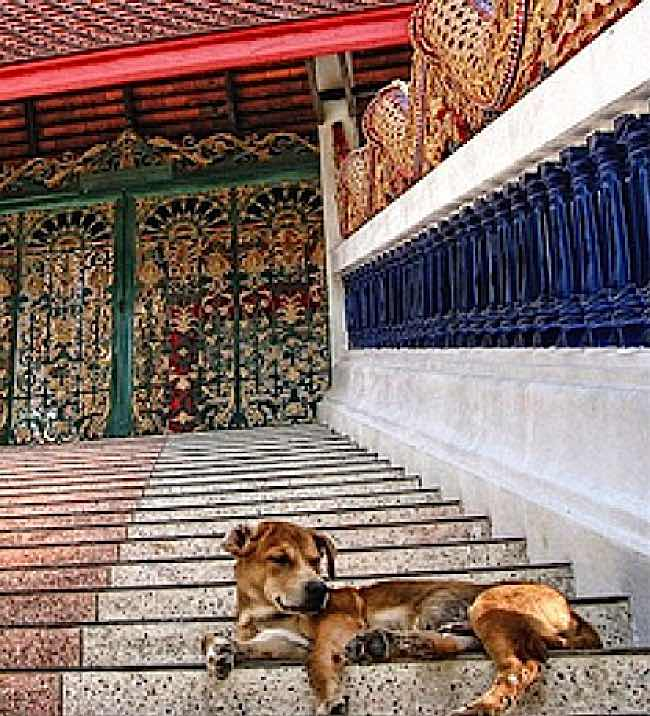 Dogs are permanent residents in Thai Buddhist temples, where euthanasia is unheard of. Often, old or sick dogs are dropped off at temples because Thai's know that monks will care for them.