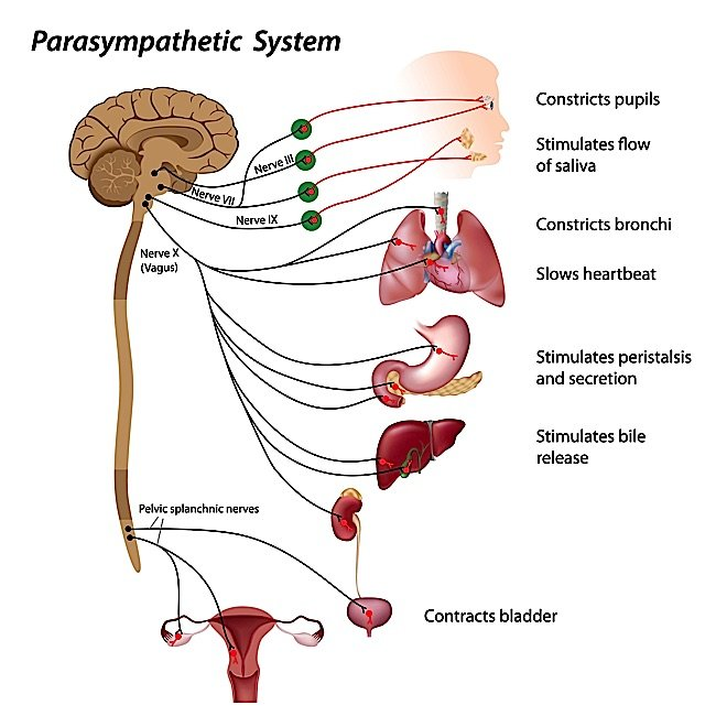 The parasympathetic system helps us regain control over fight and flight response, and has an indirect or direct influence over digestion, muscles, cardiovascular system, endocrine system and so on.