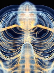 Buddha Weekly The Vagus Nerve Medically Accurate Buddhism