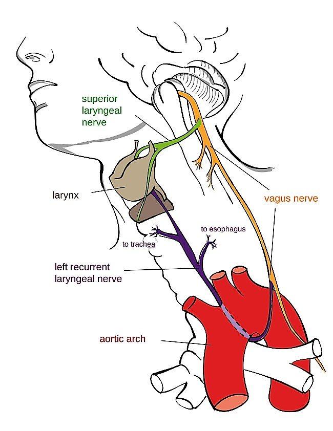 The Vagus Nerve helps the body regulate stress responses, among other major functions, and is the mechanism by which we can positively influence our health and bodies with meditation.