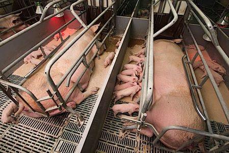 Buddha Weekly Forced breeding and caging pig farm Buddhism
