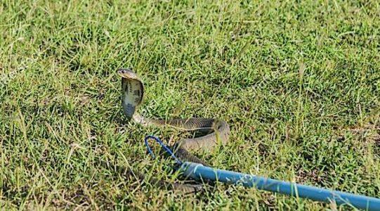 Buddha Weekly Catching a cobra snake the right way Buddhist Sutra Buddhism