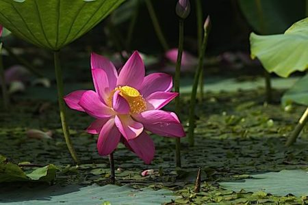 Buddha Weekly Lotus emerges untouched from the mud Buddhism