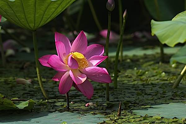Why buddha nature is one of the most important understandings in the lotus flower perfect and clean and stunning emerges from the filth and mud in the bottom of the pond likewise our buddha nature will emerge from the mightylinksfo