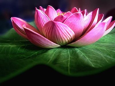 Buddha Weekly Lotus is a symbol for Buddha Nature stunning beauty arising from the mud untouched Buddhism