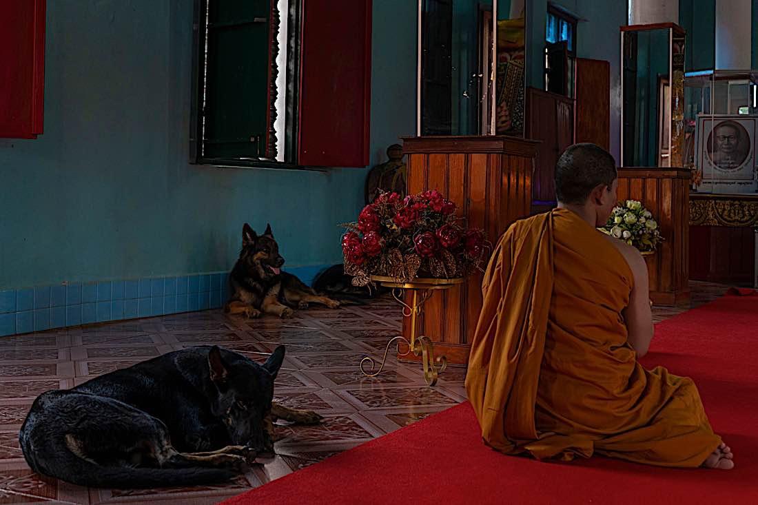 Buddha Weekly Buddhist monk chanting with multiple dogs Buddhism