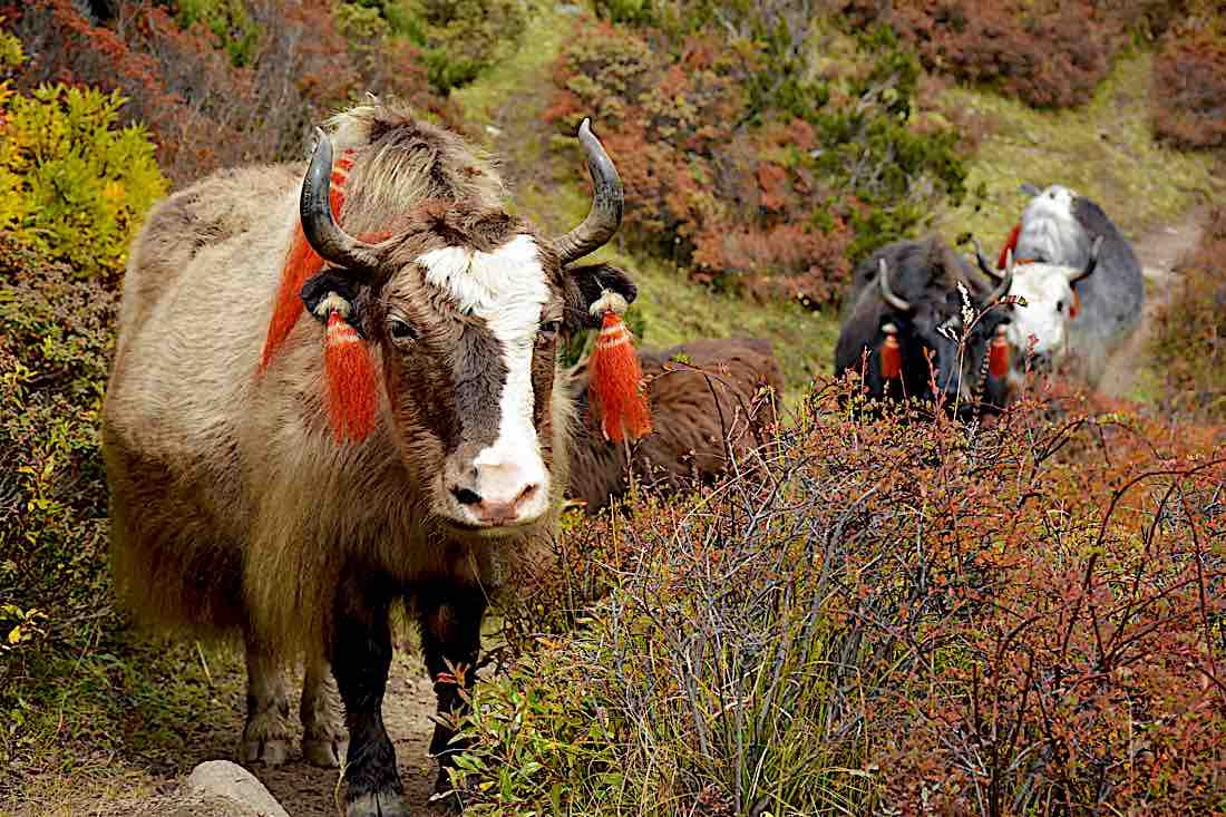 Buddha Weekly Cattle trail yaks in Himilayas Buddhism