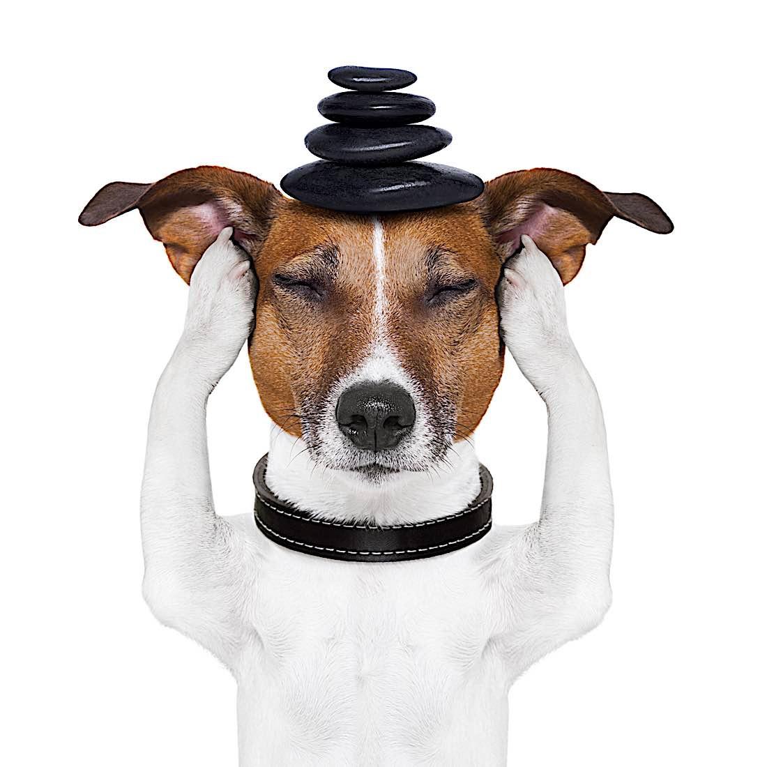 Buddha Weekly Dog Meditation Buddhism
