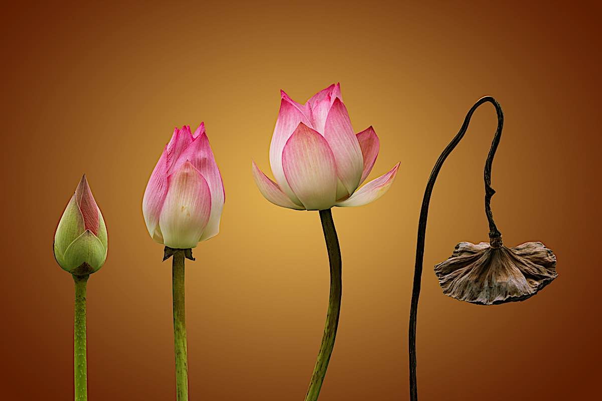 Buddha Weekly Lotus birth to death cycle Buddhism metaphor Buddhism