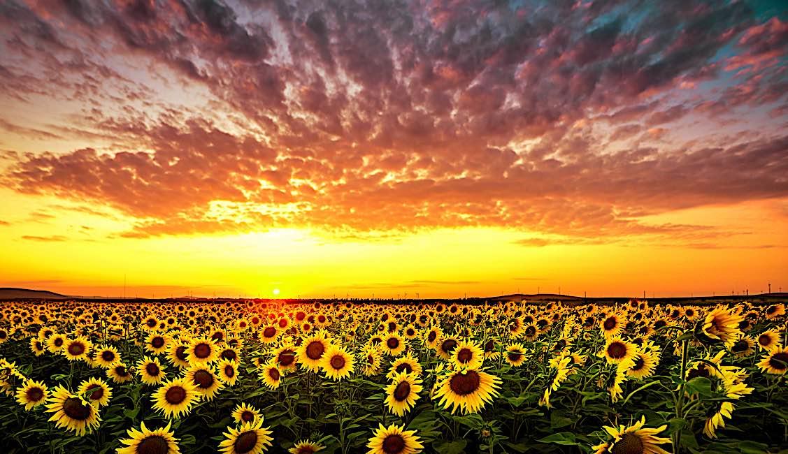 Buddha Weekly a Sunflower field and sunset beautiful Buddhism