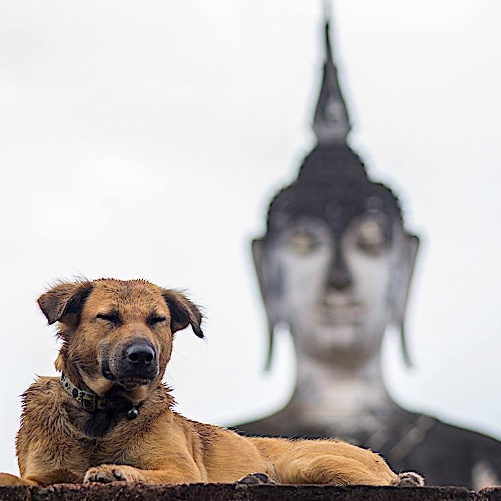 Dog sitting in front of a Buddha statue in Thailand.