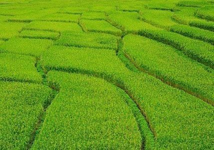 Farmers in China demonstrated that Buddhist mantras can help crops grow up bigger and healthier.