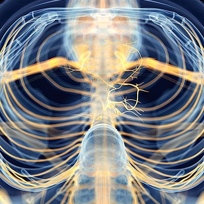 A medically accurate depiction of the Vagus Nerve, the largest nerve in the body that is believed to be the mechanism by which meditation can affect the body.
