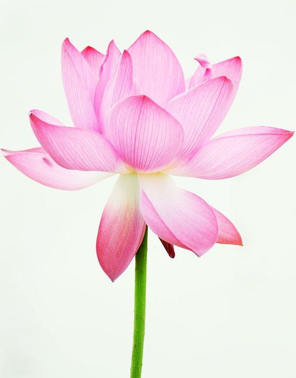 lotus 25601004